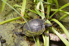 European bog turtle Stock Photography