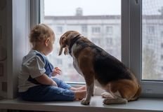 European boy and the Beagle is looking out the window stock image