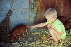 European boys play with Red pigs of Duroc breed. Newly born royalty free stock photo