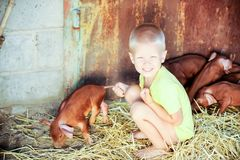 European boys play with Red pigs of Duroc breed. Newly born.  Stock Photo
