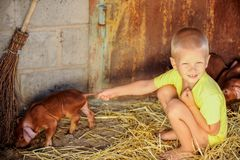 European boys play with Red pigs of Duroc breed. Newly born.  Stock Photos