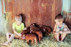 European boys play with Red pigs of Duroc breed. Newly born. European boys play with Red pigs of Duroc breed. Newly born Royalty Free Stock Photo