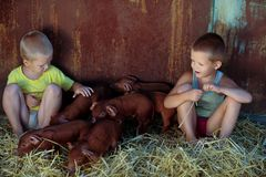 European boys play with Red pigs of Duroc breed. Newly born. Rural swine farm.  Royalty Free Stock Image
