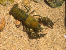European broad-fingered Crayfish Royalty Free Stock Photography