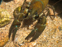 European broad-fingered Crayfish Stock Images