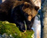 European Brown Baer. Bavarian NP Wood Royalty Free Stock Photo