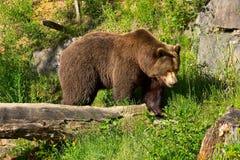 European brown bear. In the national park (Langenberg, Switzerland Stock Image