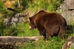 European brown bear. In the national park (Langenberg, Switzerland Royalty Free Stock Image