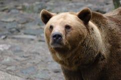 European brown bear. Portrait of european brown bear Royalty Free Stock Photos