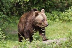 European brown bear. The european brown bear in the grassland Stock Photography