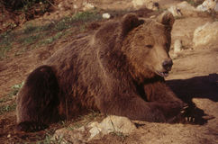 European Brown Bear. This brown bear is a resident of Kuterevo in Croatia. Kuterevo, which has a refuge for orphaned brown bears, is a tiny village nestled in Stock Images