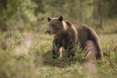 European brown bear back lit Stock Photos