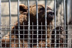European brown bear in captivity in Baku zoo, pawing at cage Stock Images