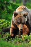 European brown bear closeup Royalty Free Stock Photos