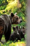 European brown bear with cubs Stock Photo