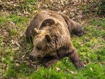 European brown bear. Royalty Free Stock Images