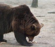European Brown bear eating Royalty Free Stock Photos