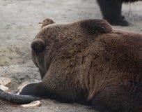 European Brown bear eating Stock Photography