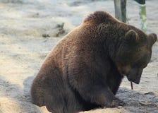 European Brown bear eating Stock Images