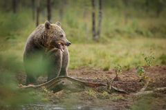 European brown bear eating Royalty Free Stock Images