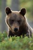European brown bear face portrait Stock Photo