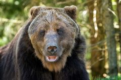 European brown bear in a forest landscape Stock Images