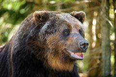 European brown bear in a forest landscape Royalty Free Stock Images