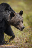 European brown bear in forest Stock Photography
