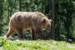 European brown bear in a forest landscape Stock Photo