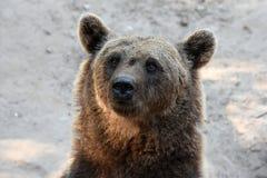 European brown bear Royalty Free Stock Photos