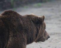 European Brown bear head Royalty Free Stock Image