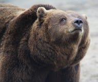 European Brown bear head Royalty Free Stock Photo