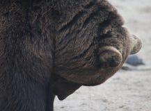 European Brown bear head Stock Image