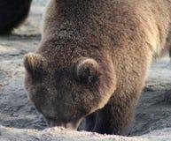 European Brown bear head Stock Photography