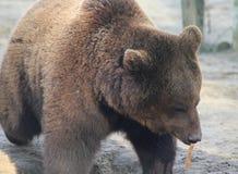 European Brown bear head Royalty Free Stock Photography