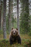 European brown bear Royalty Free Stock Photography