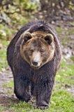 European Brown Bear Royalty Free Stock Photography