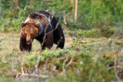 European brown bear on the meadow. The Eurasian brown bear & x28;Ursus arctos arctos& x29; , the common brown or the European brown bear, the European bear in royalty free stock photography