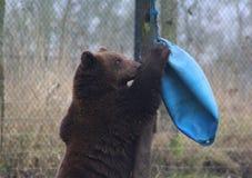 European Brown bear playing Stock Images