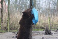 European Brown bear playing Royalty Free Stock Photo