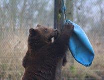 European Brown bear playing Stock Image