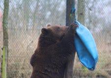 European Brown bear playing Stock Photography