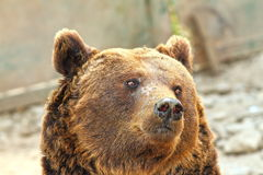 European brown bear portrait. Of captive animal at the zoo Royalty Free Stock Photo