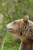 European brown bear Stock Photos