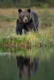 European brown bear reflection Stock Photos