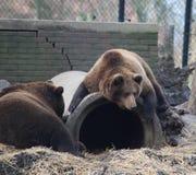 European Brown bear resting Royalty Free Stock Images