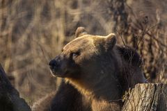 European brown bear resting on the ground. Ursus arctos royalty free stock photography