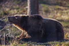 European brown bear resting on the ground. Ursus arctos royalty free stock images