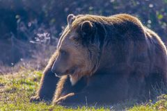 European brown bear resting on the ground. Ursus arctos royalty free stock photo
