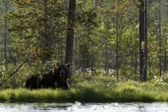 European brown bear resting in shade by lake Stock Image